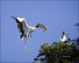 Florida;Wood-Stork;Stork;Flight;Mycteria-americana;Flying-bird;action;aloft;beha