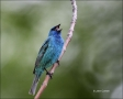 Indigo-Bunting;Bunting;Passerina-cyanea;Male;one-animal;close-up;color-image;nob