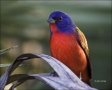 Florida;Southeast-USA;Painted-Bunting;Bunting;Male;Passerina-ciris;one-animal;cl