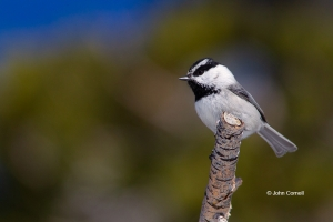 Mountain-Chickadee;One;Poecile-gambeli;avifauna;bird;birds;color-image;color-pho