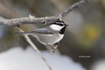 Mountain-Chickadee;Poecile-gambeli