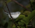 Gnatcatcher;Florida;Southeast-USA;Polioptila-caerulea;one-animal;close-up;color-
