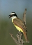 Rio-Grande-Valley;Texas;Southwest-USA;Great-Kiskadee;Pitangus-sulpheratus;One;on
