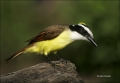 Great-Kiskadee;Kiskadee;Texas;one-animal;close-up;color-image;nobody;photography