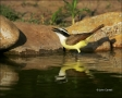 Texas;Southwest-USA;Great-Kiskadee;one-animal;close-up;color-image;nobody;photog