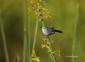 Gnatcatcher;Florida;Southeast-USA;Polioptila-caerulea;One;one-animal;avifauna;bi