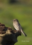 Black-Phoebe;Phoebe;Southwest-USA;Sayornis-nigricans;California;One;one-animal;a