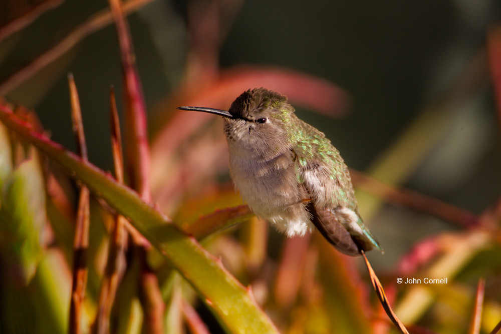 Anna's Hummingbird;Calypte anna;Hummingbird;One;avifauna;bird;birds;color image;color photograph;feather;feathered;feathers;natural;nature;outdoor;outdoors;wild;wilderness;wildlife