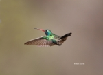 Animals-in-the-Wild;Broad-billed-Hummingbird;Cynanthus-latirostris;Flying-Bird;H