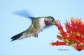 Broad-tailed-Hummingbird;Hummingbird;Selasphorus-platycercus;Flying-bird;action;