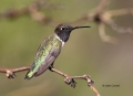 Black-chinned-Hummingbird;Hummingbird;Archilochus-alexandri;One;one-animal;avifa