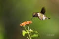 Hummingbird;Archilochus-colubris;Ruby-throated-Hummingbird;Flying-bird;action;a