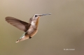 Black-chinned-Hummingbird;Hummingbird;Archilochus-alexandri;Flying-bird;action;a