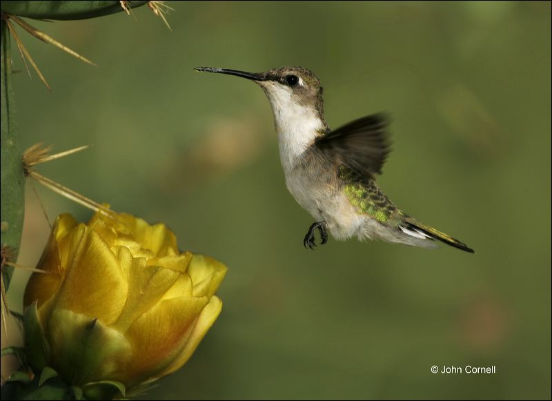 Ruby-throated Hummingbird;Hummingbird;Archilochus  colubris;flying bird;one animal;close-up;color image;nobody;photography;day;outdoors. Wildlife;birds;animals in the wild;flight;Flying Bird;action;active;aerodynamic;behavior;flying;glide;gliding;in flight;soar;soaring;wing;winged;wings;color photograph