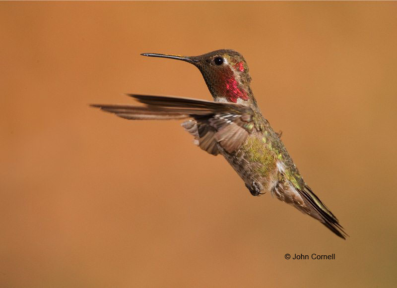 Broad-tailed Hummingbird;Hummingbird;Selasphorus platycercus;Flying bird;action;aloft;behavior;flight;fly;flying;soar;wing;winged;wings;one animal;Color Image;Photography;Birds;Animals in the Wild;Flight;Action;Active;in flight;motion;movement;soaring;One;avifauna;bird;birds;feather;feathered;outdoors;outside;untamed;wild;color;color photograph;daytime;close up;color image;photography;animals in the wild;feathers;wilderness;watching;watchful