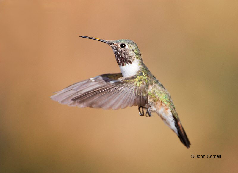 Broad-tailed Hummingbird;Hummingbird;Selasphorus platycercusi;Flying bird;action;aloft;behavior;flight;fly;flying;soar;wing;winged;wings;one animal;Color Image;Photography;Birds;Animals in the Wild;Flight;Action;Active;in flight;motion;movement;soaring