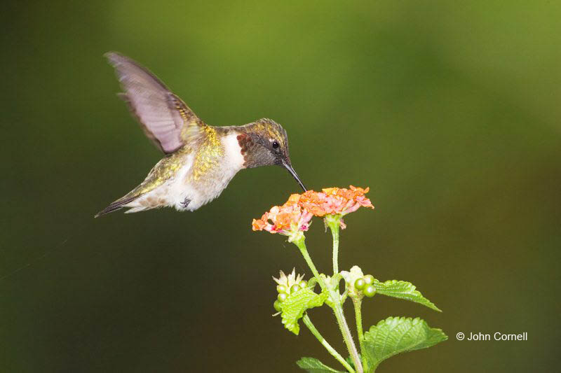 Hummingbird;Archilochus  colubris;Ruby-throated Hummingbird;Flying bird;action;aloft;behavior;flight;fly;flying;soar;wing;winged;wings;one animal;Color Image;Photography;Birds;Animals in the Wild;Flight;Action;Active;in flight;motion;movement;soaring;One;avifauna;bird;birds;feather;feathered;outdoors;outside;untamed;wild;color;color photograph;daytime;close up;color image;photography;animals in the wild;feathers;wilderness;perch;perching;watching;watchful;Close up;Flying Bird;active;aerodynamic;glide;gliding