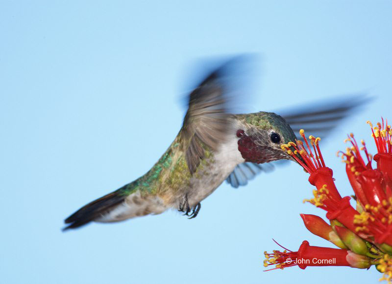 Broad-tailed Hummingbird;Hummingbird;Selasphorus platycercus;Flying bird;action;aloft;behavior;flight;fly;flying;soar;wing;winged;wings;one animal;Color Image;Photography;Birds;Animals in the Wild;Flight;Action;Active;in flight;motion;movement;soaring;One;avifauna;bird;birds;feather;feathered;outdoors;outside;untamed;wild;color;color photograph;daytime;close up;color image;photography;animals in the wild;feathers;wilderness;watching;watchful;Flowe;Foraging