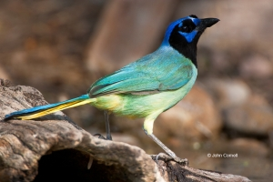 Cyanocorax-yncas;Green-Jay;Jay;One;Wild-Animal;aviafauna;avifauna;bird;birds;col
