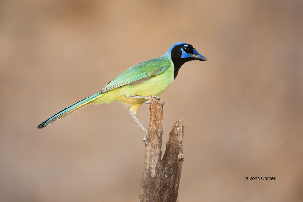 Cyanocorax yncas;Green Jay;Jay;One;avifauna;bird;birds;color image;color photograph;feather;feathered;feathers;natural;nature;outdoor;outdoors;wild;wilderness;wildlife