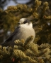 Gray-Jay;Jay;Perisoreus-canadensis;one-animal;close-up;color-image;nobody;photog