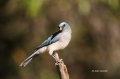 Mexican-Jay;Jay;Aphelocoma-ultramarina;One;one-animal;avifauna;bird;birds;feathe