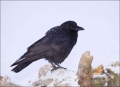 Alaska;Kenai-Peninsula;Northwestern-Crow;Crow;Corvus-caurinus;one-animal;close-u