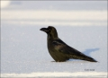 Jungle-Crow;Crow;Corvus-macrohynchos;Japan;Asian-Birds;Snow;one-animal;close-up;