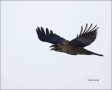 Jungle-Crow;Crow;Flight;Corvus-macrohynchos;Japan;Asian-Birds;Snow;flying-bird;o