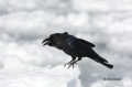 Corvus-macrohynchos;Jungle-Crow;animals-in-the-wild;avifauna;bird;birds;close-up