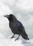 Corvus-macrohynchos;Jungle-Crow;One;one-animal;avifauna;bird;birds;feather;feath
