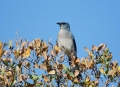Mexican-Jay;Jay;Aphelocoma-ultramarina;One;avifauna;bird;birds;feather;feathered