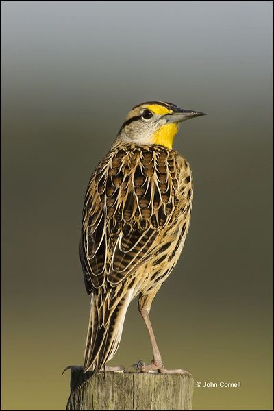 Florida;Eastern Meadowlark;Meadowlark;Southeast USA;Sturnella magna;one animal;close-up;color image;nobody;photography;day;outdoors. Wildlife;birds;animals in the wild