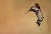 Animals-in-the-Wild;Broad-tailed-Hummingbird;Flying-Bird;Hummingbird;Photography