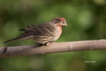 Carpodacus-mexicanus;Finch;House-Finch;One;avifauna;bird;birds;color-image;color