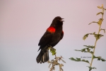Agelaius-phoeniceus;Blackbird;One;Red-winged-Blackbird;avifauna;bird;birds;color