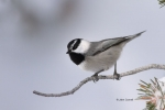 Eastern-Sierras;Mountain-Chickadee;One;Poecile-gambeli;Snow;Winter;avifauna;bird