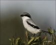 Loggerhead-Shrike;Shrike;Lantius-ludovicianus;Prey;one-animal;close-up;color-ima
