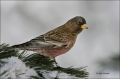 Brown-capped-Rosy-Finch;Finch;Leucosticte-tephrocotis;one-animal;close-up;color-
