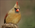 Northern-Cardinal;Cardinal;Female;one-animal;close-up;color-image;nobody;photogr