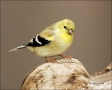American-Goldfinch;Goldfinch;North-Carolina;Carduelis-tristis;one-animal;close-u