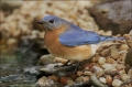 Eastern-Bluebird;Bluebird;Sialia-sialis;one-animal;close-up;color-image;nobody;p