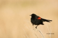 Red-winged-Blackbird;Blackbird;Agelaius-phoeniceus;one-animal;close-up;color-ima