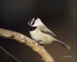New-Mexico;Southwest-USA;Mountain-Chickadee;Chickadee;Poecile-gambeli;one-animal