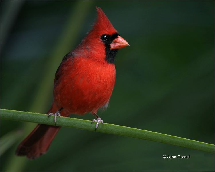 Northern Cardinal;Cardinal;Male;one animal;close-up;color image;nobody;photography;day;outdoors. Wildlife;birds;animals in the wild;Cardinalis cardinalis