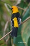Spot-breasted-Oriole;Oriole;Icterus-pectoralis;One;one-animal;avifauna;bird;bird