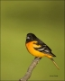 Baltimore-Oriole;Oriole;Ohio;Icterus-galbula;one-animal;close-up;color-image;nob