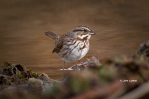 Melospiza-melodia;One;Song-Sparrow;avifauna;bird;birds;color-image;color-photogr
