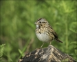 Sparrow;Lincolns-Sparrow;Texas;Southwest-USA;Melospiza-lincolnii;one-animal;clos