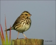 Savannah-Sparrow;Sparrow;Passerculus-sandwichensis;one-animal;close-up;color-ima